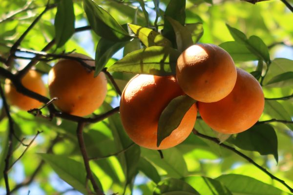Oranges hanging in a branch
