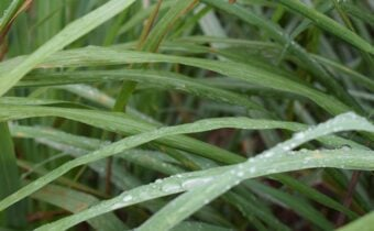A close up of Palmarosa leaves
