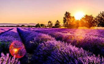 Lavender field in flower at sunset