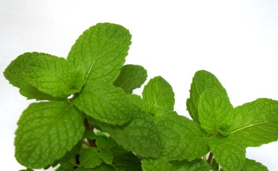 Close up of Spearmint Leaves