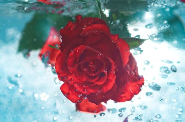 A red rose under the water
