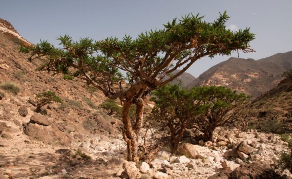 A Frankincense Tree in the desert