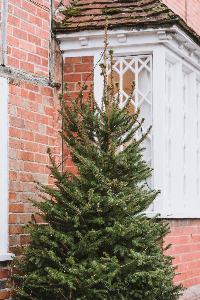 A Pine Sylvestris Christmas Tree