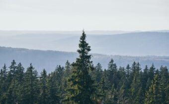 A Pine Sylvestris Tree or Scots Pine