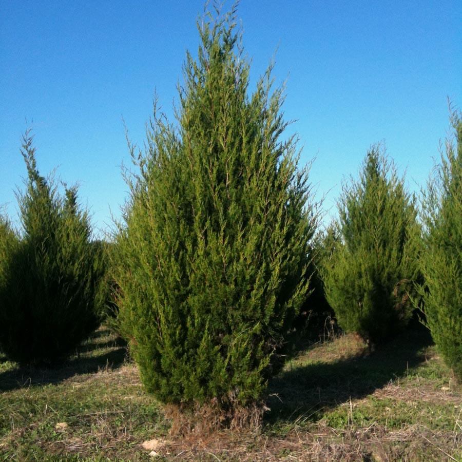cedarwood virginian tree