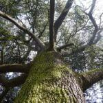 close up of cedarwood atlas tree trunk
